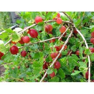 Egreš červený stromkový Niesluchowski - stredne skorý 50-100cm - voľnokorenný