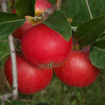 Jabloň Rubinola - voľnokorenná