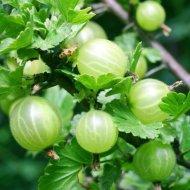 Egreš zelený stromkový Invicta - voľnokorenný