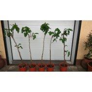 """Figovník jedlý """"BLANCA GOTA DE MIEL"""" (Ficus carica) -17 C, výška: 190-220 cm"""