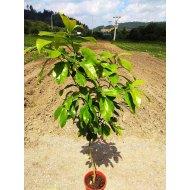 Grepfruit (100-150 cm)