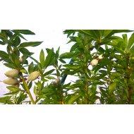 Mandľovník voľnokorenný (Prunus dulcis), výška 110-120 cm, -14C