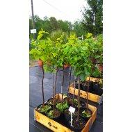 Ebenovník rajčiakonosný (JIRO), výška 130-160 cm, (-17 C)