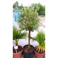 Olivovník európsky (Olea europia) BONSAI, výška 120-150 cm