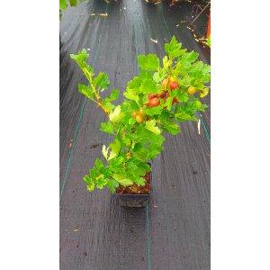 """Egreš kríčkový červený """"Niesluchowski"""" stredne skorý, 30-60 cm; kont. 1L - kvetináčový"""