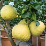 Grepfruit (170 - 220cm)