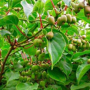 Kiwi Issai ´Actinidia Arguta Issai´ -30°C, výška 20-40 cm, kont. C1,5L