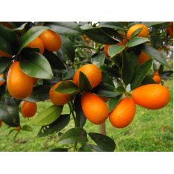 Kumquaty
