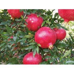 Granátové jablká