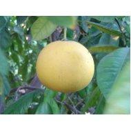 Grepfruit (100-130 cm)