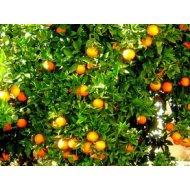 Pomarančovník (170-190 cm) ´WASHINGTON FOYOS´