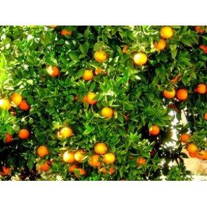 Pomarančovník (150-170 cm)´Salustiana´
