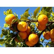 Pomarančovník (140-150 cm) ´WASHINGTON FOYOS´
