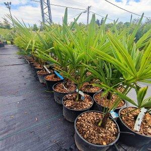 Trachycarpus fortunei  - výška kmeňa 10-20cm, celková výška 60-80 cm (-17°C)