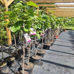 Figovník obyčajný  Ficus carica ´NAPOLITANA´  - výška 140-160 cm, kont. C10L