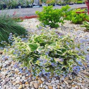 Brunera veľkolistá - Brunnera macrophylla ´Variegata´