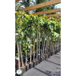 Figovník jedlý ´BLANCA GOTA DE MIEL´ (Ficus carica) -17 C, výška 180-220 cm, kont. C10L