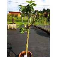 Figovník jedlý (Ficus carica) -17 C
