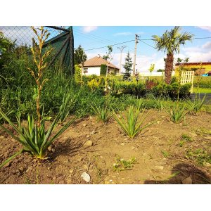 Yucca filamentosa, výška: 30-50 cm, kont. C2L (-30°C)
