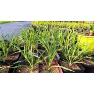 Yucca filamentosa (20 cm+), -30 C
