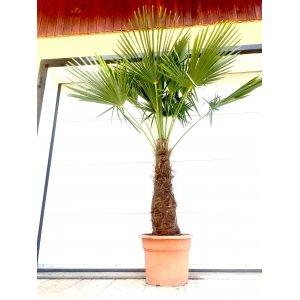 TRACHYCARPUS FORTUNEI -17°C, kmeň 50-60 cm, výška 90-120 cm