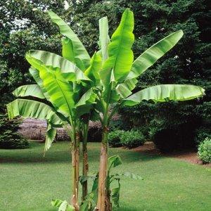 """Banánovník """"Musa Basjoo"""" - 20°C, výška: 130-160 cm, C18L"""