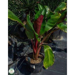 """Banánovník """"Ensete Maurelii"""" -2°C, výška: 80-100 cm, C12L"""