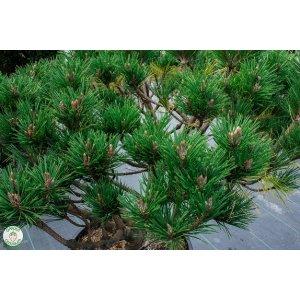 Borovica drobnokvetá ´BREVIFOLIA´ – výška 70-90cm, priemer koruny 100-120cm, kont. C10L - BONSAJ