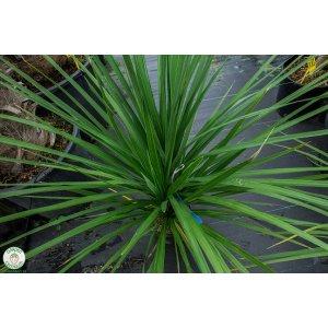 """Cordyline """"AUSTRALIS"""" - Výška 80-100 cm (-12°C)"""