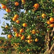 "Kumquat (140-170 cm) odroda ""MEIWA"""