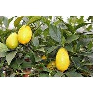 Limequat 130-150 cm