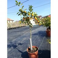 "Kumquat (80-100 cm) odroda ""MEIWA"""