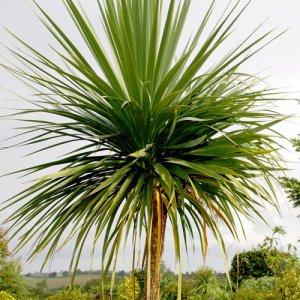 """Cordyline """"AUSTRALIS"""" - Výška 125-150 cm (dva kmene) (-12°C)"""