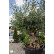 Olivovník európsky (Olea europaea) - BONSAJ , výška 180+ cm