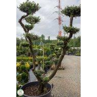 Olivovník európsky (Olea europaea) - BONSAJ , výška 180-190 cm