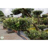 Olivovník európsky (Olea europaea) - BONSAJ , výška 150-160 cm