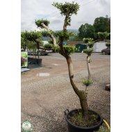 Olivovník európsky (Olea europaea) - BONSAJ , výška 140-150 cm