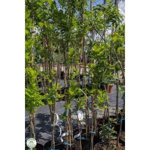 """Dub letný """"Quercus Robur Fastigiata"""""""