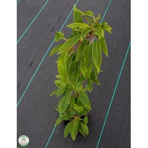 Kiwi Weiki ´Actinidia arguta Weiki´, výška 50-80 cm, kont.C2L
