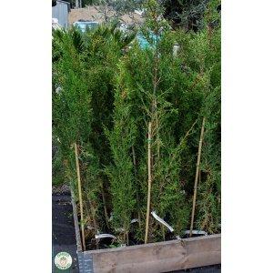 Cupressus sempervirens Cypruštek vždyzelený 100-120cm; kont.2l