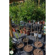 "Granátovník púnsky ""Punica Granatum"", 140-170 cm"