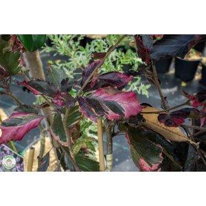 """Buk trojfarebný """"Fagus Sylvatica - Purpurea Tricolor"""""""