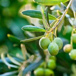 Olivovník európsky (Olea europaea), výška 200-240 cm, kont. C65L
