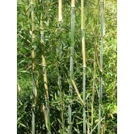 Bambus Phyllostachys bissetii, výška 100-140 cm