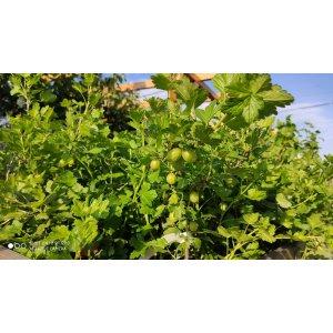 """Egreš kríčkový zelený """"Invicta"""" - stredne skorý, 30-60 cm; kont. 1L - kvetináčový"""