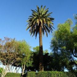 Teplomilné palmy