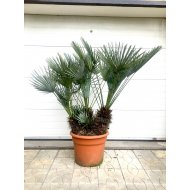 CHAMAEROPS HUMILIS CERIFERA -17° C, 4 palmy v jednom kvetináči, výška: 80-110 cm