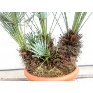 CHAMAEROPS HUMILIS CERIFERA -17 C, 4 palmy v jednom kvetináči, výška: 110 - 130 cm