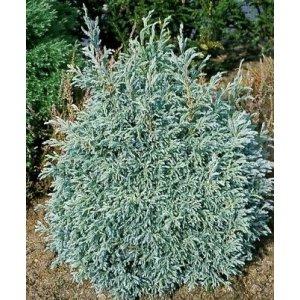 """Chamaecyparis pisifera Cypruštek hrachonosný """"BABY BLUE"""" 20-40cm, kont.5l"""