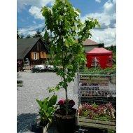 Figovník jedlý (Ficus carica) -17 C, výška: 240-250 cm